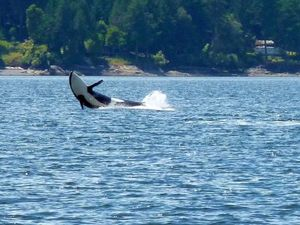 Whalewatching vor Vancouver Island