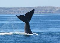 Whale Watching Puerto Madryn