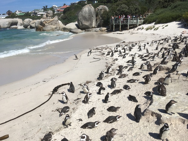 Pinguine in Boulders Beach