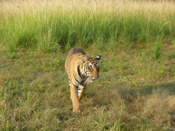 Tiger, Ranthambore NP, Rajasthan